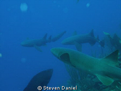 Nurse sharks by Steven Daniel